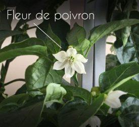 fleur de poivron