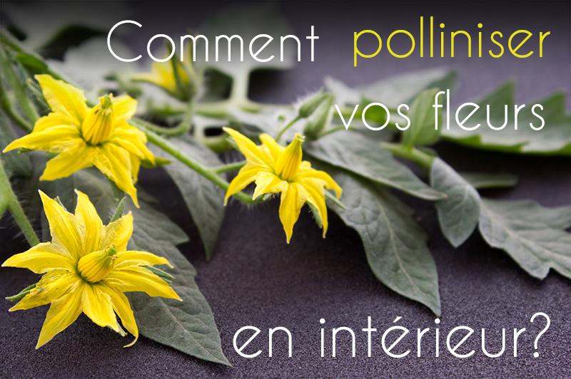 Pollinisation manuelle des fleurs de votre jardin d'intérieur