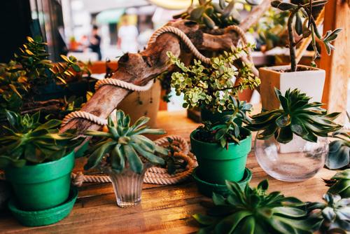 plantes d'intérieur vertes et grasses en pot