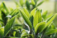 feuilles de sauge fraiches