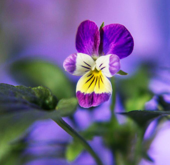 fleur de pensée