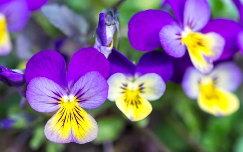 Fleur de pens e d couvrez ses bienfaits et utilisations en cuisine - Pensee fleur vivace ou annuelle ...
